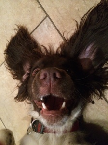 Excited spaniel face....#vetfinals 2015 is on the way....